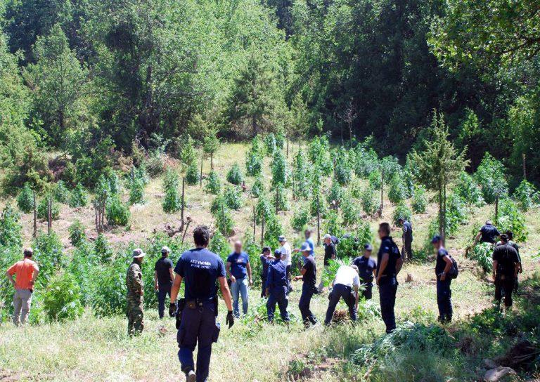 Ρέθυμνο: Οι έρευνες οδήγησαν σε »δάσος» με 2003 χασισόδεντρα!   Newsit.gr