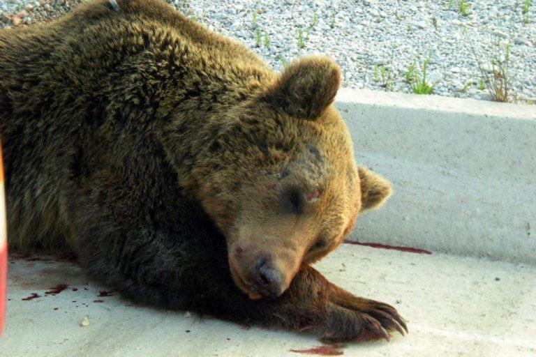 Φλώρινα: Νεκρή από χτύπημα αυτοκινήτου, η αρκούδα που βλέπετε! | Newsit.gr