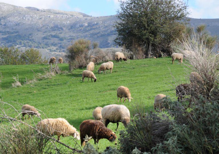 Αχαϊα: »Έδεσαν χειροπόδαρα τον γιο μου, για να κλέψουν τα πρόβατα»! | Newsit.gr