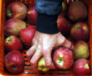 Κοζάνη: Σε απόγνωση οι παραγωγοί μήλων και κερασιών – »Το χαλάζι μας κατέστρεψε»!