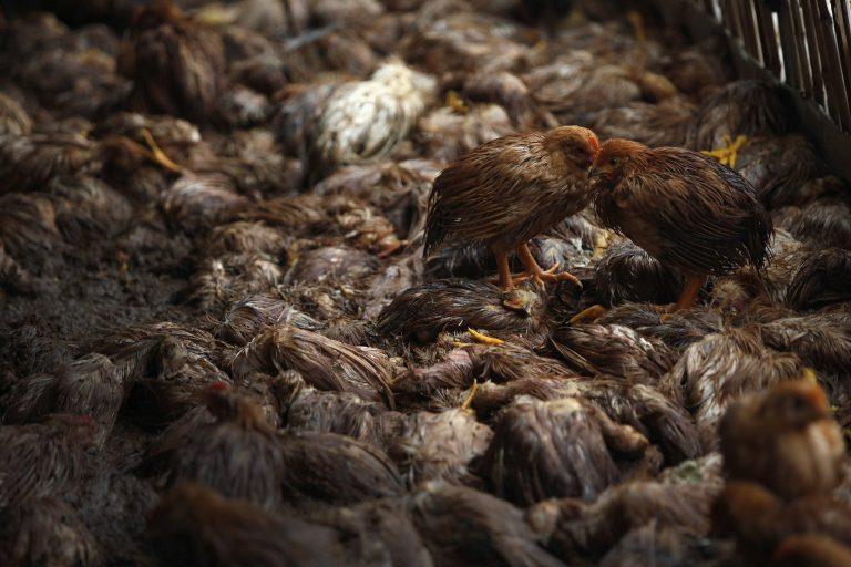 Οι κότες… έσκασαν!   Newsit.gr
