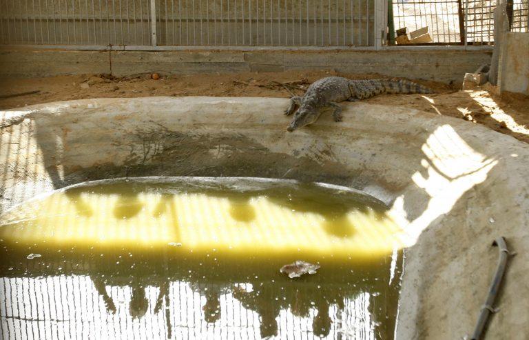 Κροκόδειλος κατάπιε 12χρονο!   Newsit.gr