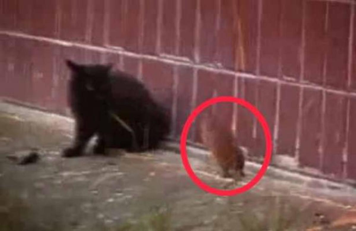 Απίστευτο κι όμως αληθινό! Ποντίκι επιτίθεται σε γάτες! | Newsit.gr