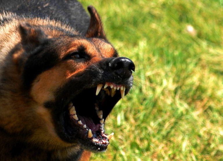 Πάτρα: Λυκόσκυλο έκοψε το αυτί Αλβανού που μπήκε σε αγροτική κατοικία! | Newsit.gr