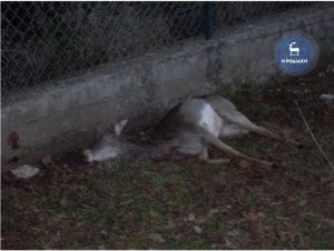 Ρόδος: Άγρια σκυλιά κατασπάραξαν τη μικρή ελαφίνα – Σκληρές εικόνες στο σημείο!