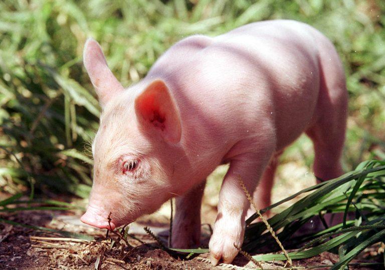 Καβάλα: Έσφαξαν γουρούνι και κάρφωσαν το κεφάλι του στην πόρτα τεμένους! | Newsit.gr