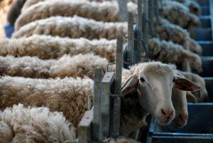 Ηλεία: Πασχαλινή εκδίκηση με σκληρές εικόνες – Σε κατάσταση σοκ ο κτηνοτρόφος!