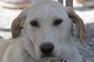Ζάκυνθος: Σκότωσαν κυνηγόσκυλα με κομμάτια κρέατος που έκρυβαν γυαλιά!