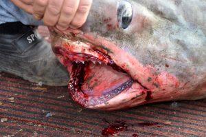 Αργολίδα: Νέες φωτογραφίες του καρχαρία που μπλέχτηκε στα δίχτυα ψαρά – Στα 4 μέτρα το μήκος του [pics]