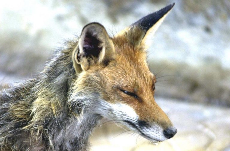 Θεσσαλονίκη: Συσκέψεις και ανησυχία για τα κρούσματα λύσσας | Newsit.gr