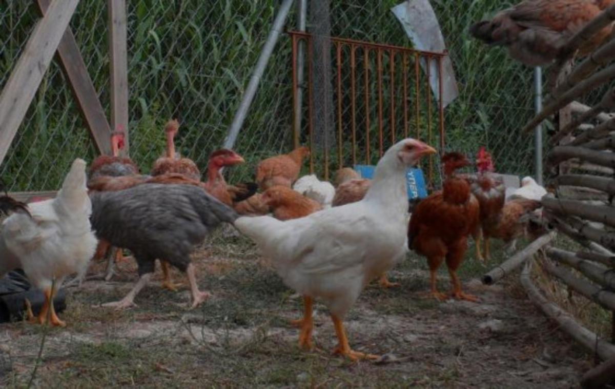 Κοζάνη: Κρούσμα της γρίπης των πτηνών – Πέθαναν όλα τα πουλερικά μέσα σε λίγες μέρες!