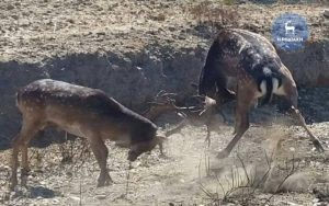 Ρόδος: Η σκληρή μάχη για τα μάτια ελαφίνας – Η σύγκρουση δύο αρσενικών ελαφιών [pics]