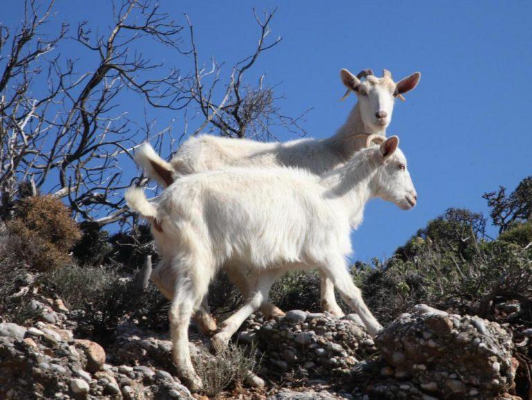 Καστοριά: 30 αιγοπρόβατα κάηκαν ζωντανά   Newsit.gr