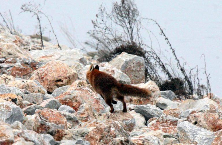 Ξεκινούν οι από αέρος εμβολιασμοί των κόκκινων αλεπούδων κατά της λύσσας – Τι πρέπει να προσέχουν οι πολίτες | Newsit.gr