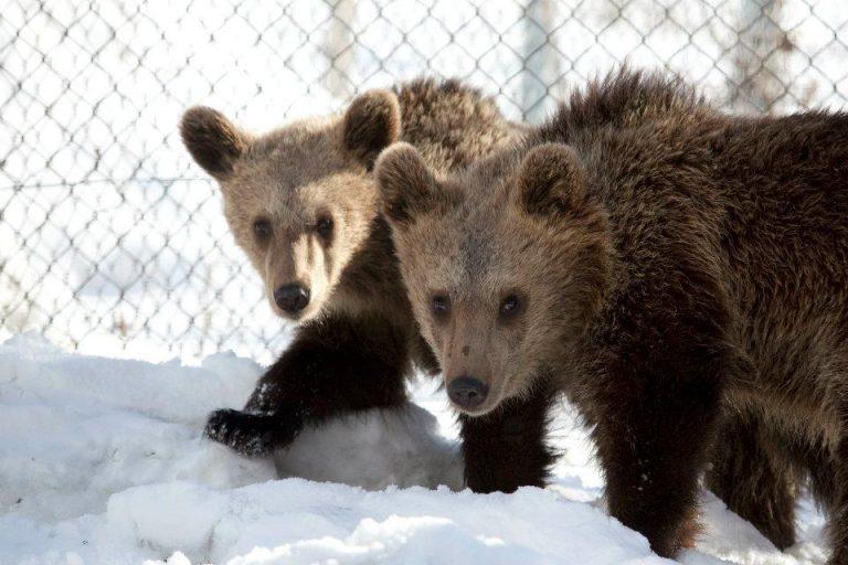 Θεσσαλονίκη: Φιλαράκια και στο φυσικό τους περιβάλλον τα δύο αρκουδάκια που είχε περιθάλψει ο Αρκτούρος | Newsit.gr
