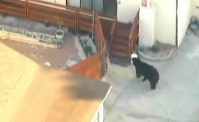 Η αρκούδα βγήκε βόλτα για…κεφτέδες! ΒΙΝΤΕΟ | Newsit.gr
