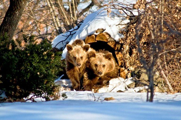 Θεσσαλονίκη: Σωτήριο έργο για τις αρκουδες στην Εγνατία | Newsit.gr