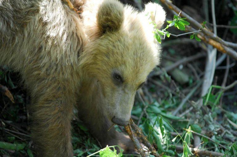 Γρεβενά: Πεινασμένη αρκούδα «εγκαταστάθηκε» σε εκτροφείο θηραμάτων και έτρωγε τις τροφές των ζαρκαδιών!   Newsit.gr