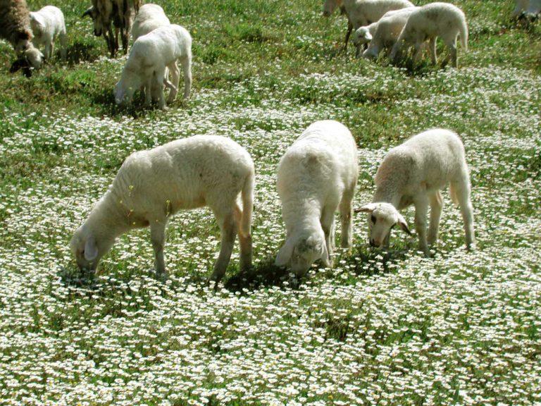 Αρνάκι άσπρο και … πανάκριβο | Newsit.gr