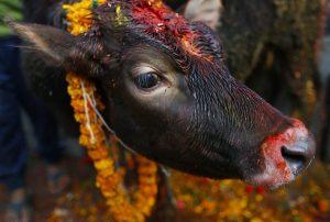 Η αγελάδα προσωπικότητα της χρονιάς στην Ινδία!