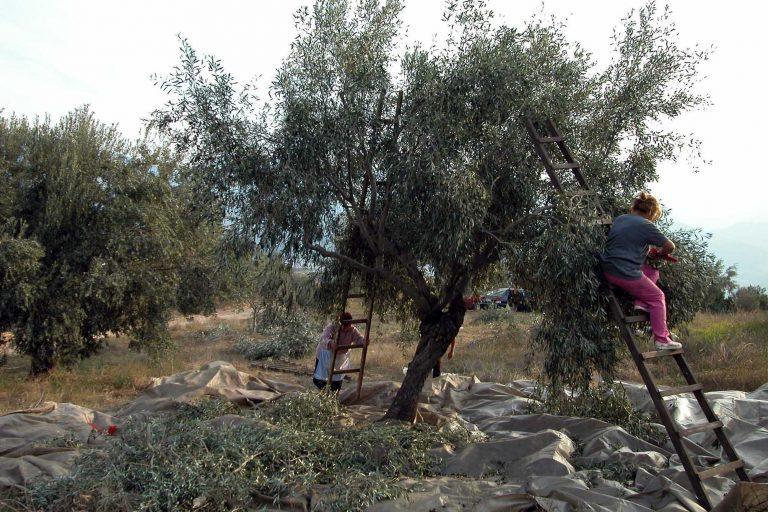 Οι ελιές κόλλησαν… aids! | Newsit.gr