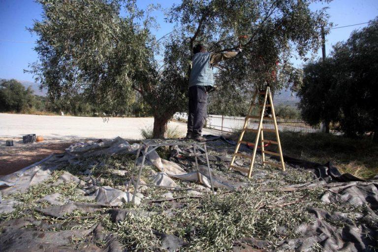 Ρέθυμνο: Τραυματίστηκε θανάσιμα ενώ μάζευε τις ελιές του | Newsit.gr