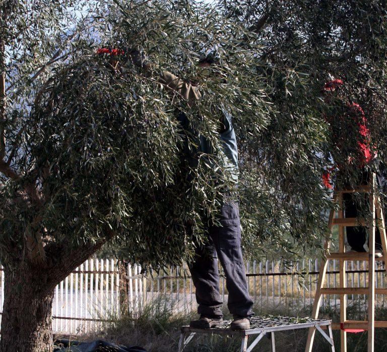 Πύργος: Παρακολουθούσαν και χτύπησαν την ώρα που μάζευε ελιές! | Newsit.gr