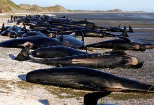 Εικόνες σοκ! Εκατοντάδες φάλαινες νεκρές στη Νέα Ζηλανδία [pics]