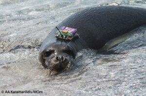 Ελεύθερη πλατσουρίζει πλέον η μικρή φώκια που είχε βρεθεί εξαντλημένη στη Σκόπελο – ΦΩΤΟ & ΒΙΝΤΕΟ