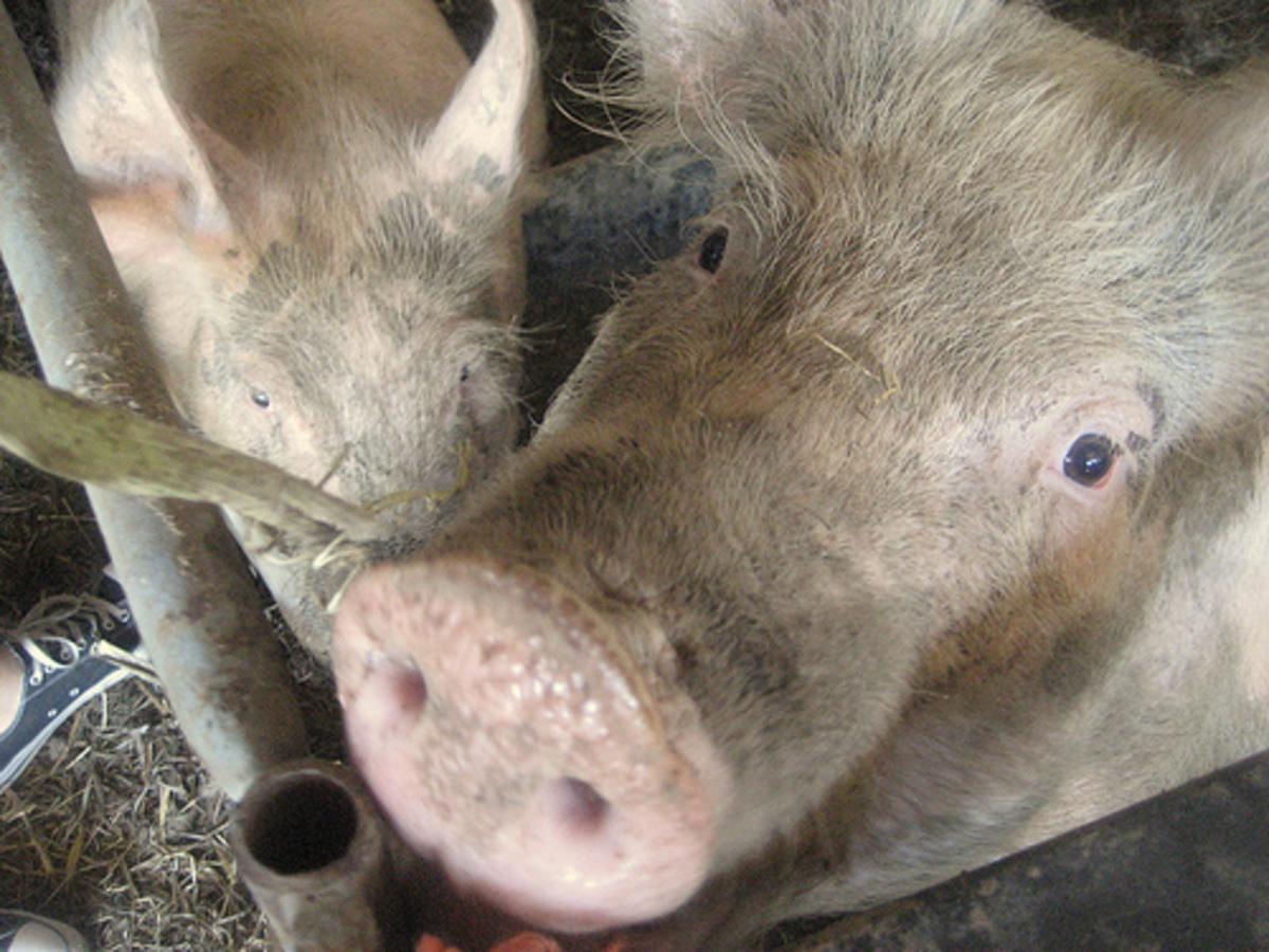 Τον έφαγαν τα γουρούνια του | Newsit.gr