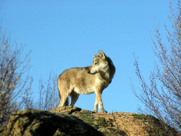 Βρέθηκε λύκος νεκρός στη Δράμα – Φαίνεται να έχει περάσει βασανιστήρια… | Newsit.gr