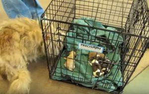 Μαμά σκυλίτσα βλέπει και πάλι τα μωρά της που νόμιζε ότι είχε χάσει – Δείτε την αντίδρασή της! [vid]