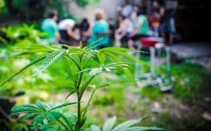 Ξερίζωσαν φυτά κάνναβης από τον περίβολο κτιρίου γερουσιαστών στο Τόκιο