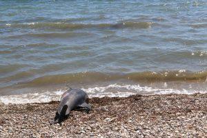 Νεκρό δελφίνι στον Σταυρό Θεσσαλονίκης
