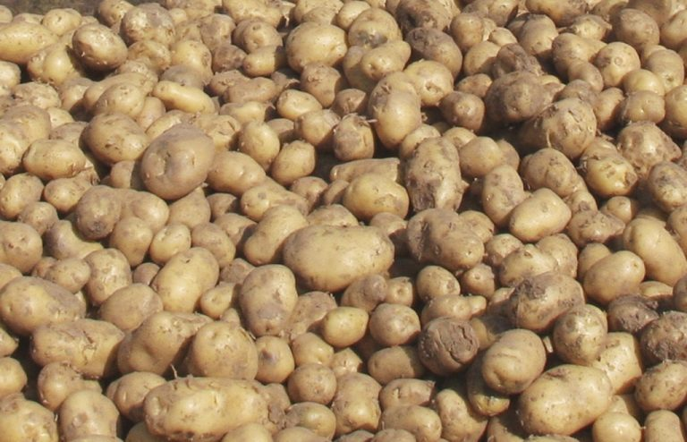 Θα τρώμε πλέον γενετικά τροποποιημένες πατάτες | Newsit.gr