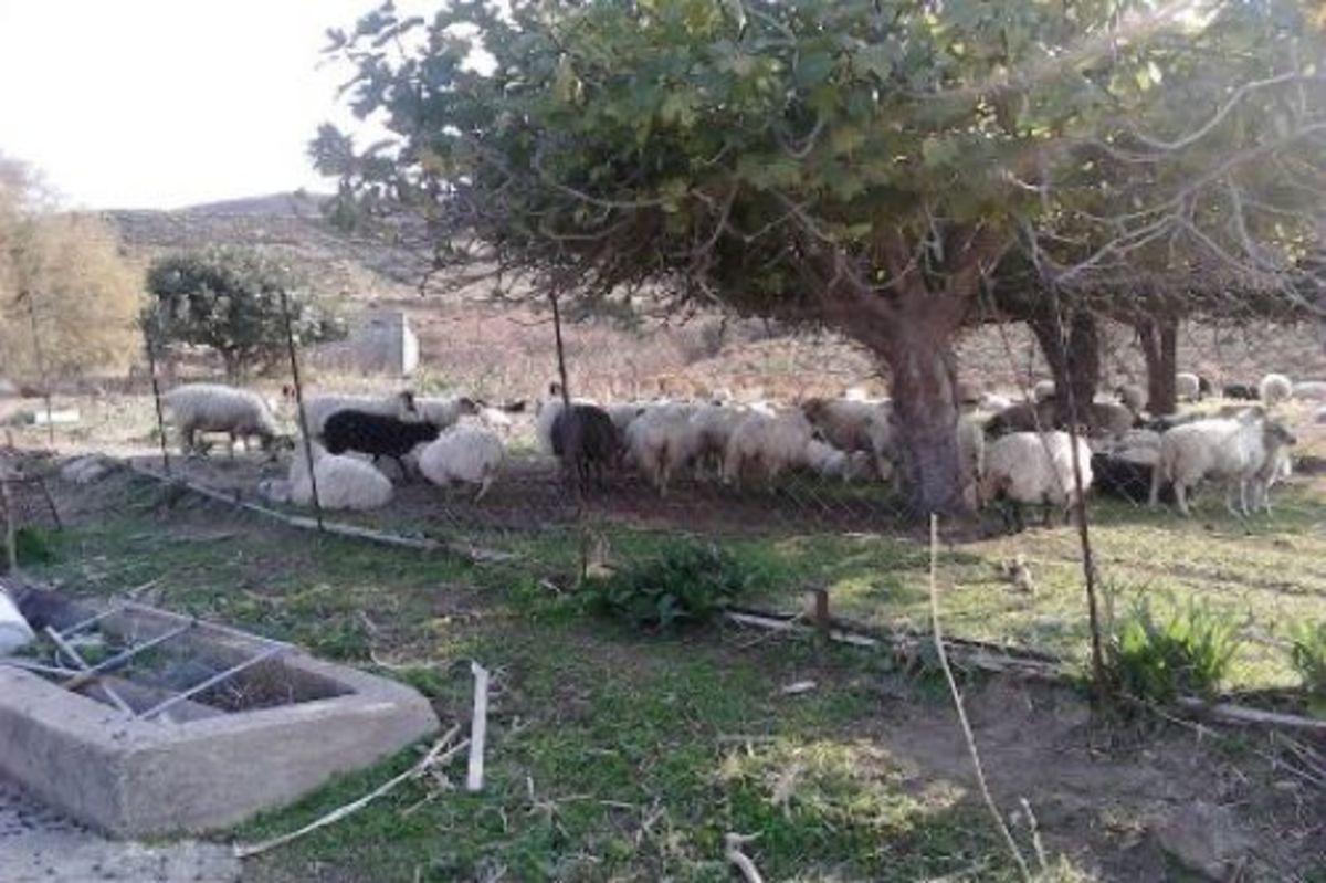 Κρήτη: Είχαν τα πρόβατα χωρίς… σκουλαρίκια και τα σκυλιά αλυσοδεμένα μέσα στον ήλιο | Newsit.gr