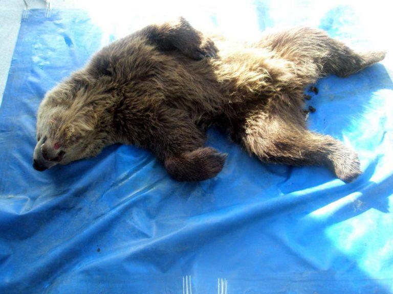 Άλλα δύο νεκρά αρκουδάκια στη δυτική Μακεδονία   Newsit.gr