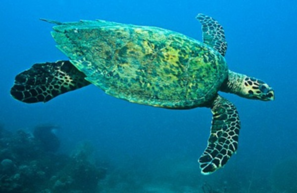 Θαλάσσια χελώνα ταξίδεψε 1.500 χιλιόμετρα για να ζευγαρώσει | Newsit.gr