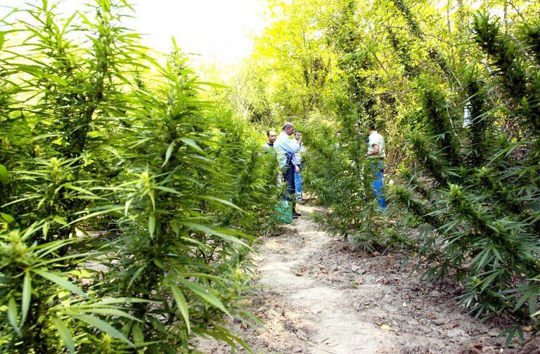 Κεφαλλονιά: Καλλιεργούσε χασίς σε ξένο αγροτεμάχιο!   Newsit.gr