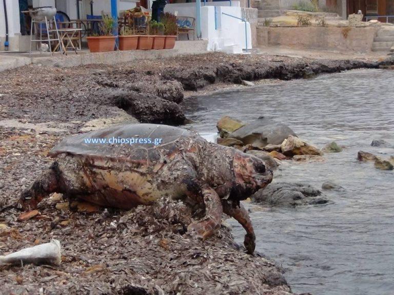Χελώνα βρέθηκε νεκρή σε ακτή της Χίου – ΦΩΤΟ & ΒΙΝΤΕΟ | Newsit.gr