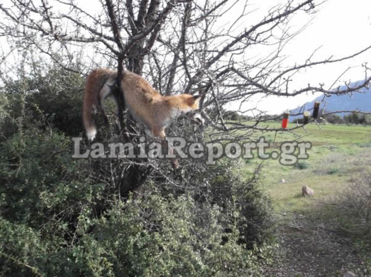 Φθιώτιδα: Κρέμασε σε δέντρο την αλεπού που σκότωσε – Δείτε φωτό! | Newsit.gr