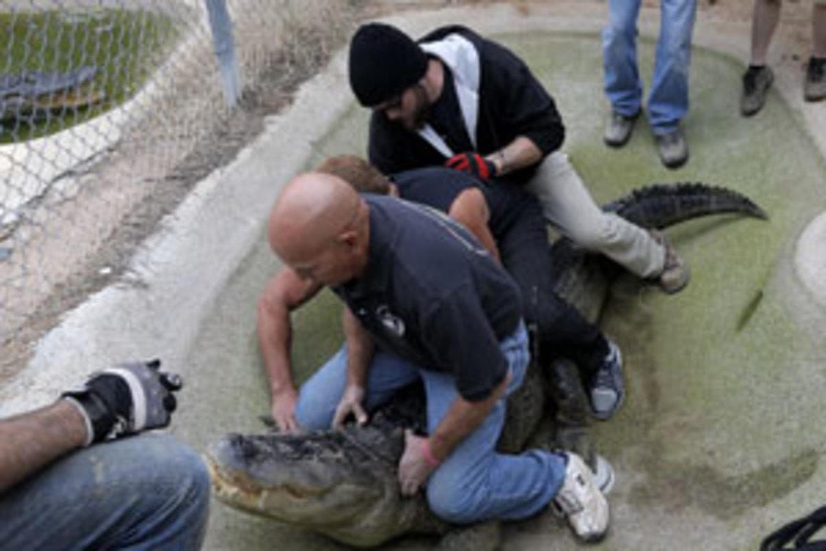 Ένας αλιγάτορας… συνεργός κατόχου μαριχουάνας! | Newsit.gr