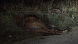 Ιωάννινα: Άλογο κατέρρευσε εξαντλημένο στην άκρη του δρόμου [pics]