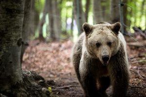 Φλώρινα: Οι αρκούδες… «μύρισαν» Άνοιξη και ξύπνησαν!