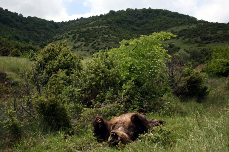 Φλώρινα: Αδίστακτοι σκότωσαν και ακρωτηρίασαν αρκούδα | Newsit.gr