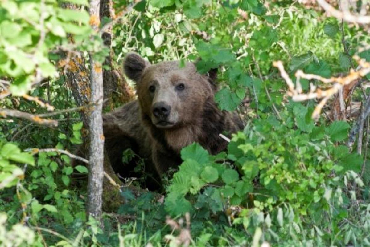 Καστοριά: Απομακρύνθηκε η εξάχρονη αρκούδα Ίρμα από την ευρύτερη περιοχή της Κρεπενής | Newsit.gr