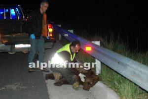 Νεκρή κι άλλη αρκούδα σε τροχαίο στην Καστοριά [pics]