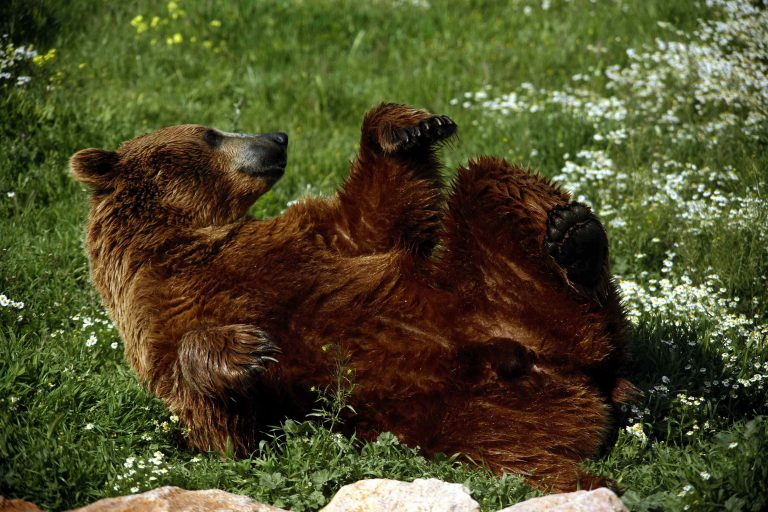 Μετακομίζει στο Nυμφαίο το κέντρο ενημέρωσης για την καφέ αρκούδα «Αρκτούρος» | Newsit.gr