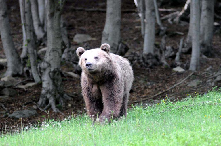 Ο αρκούδος Γιούρκα απέκτησε «σπίτι» στη Γερμανία | Newsit.gr