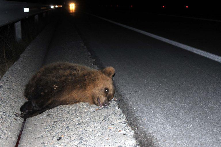 Καρδίτσα: Φορτηγό σκότωσε αρκούδα! | Newsit.gr